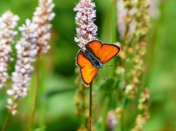 Chasse-Papillons-Saint-Gildas-Rhuys-Morbihan-Bretagne-Sud0fr