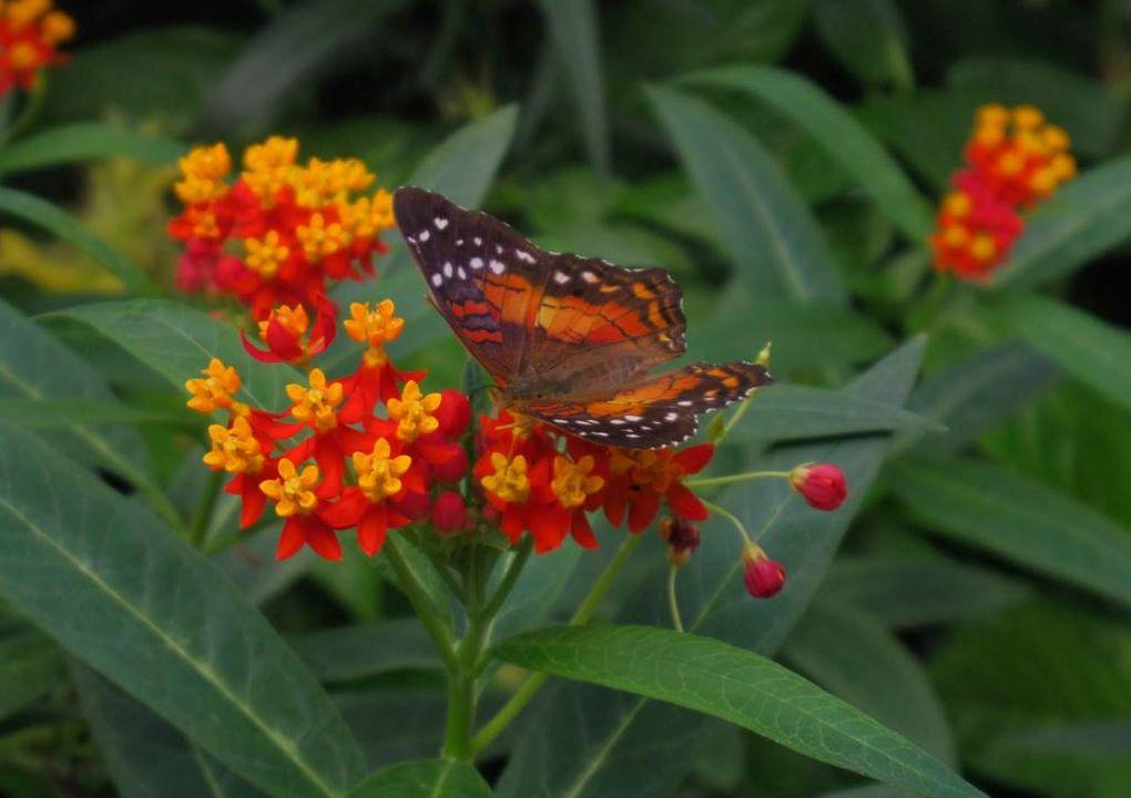 jardinpapillonanartiaamathea