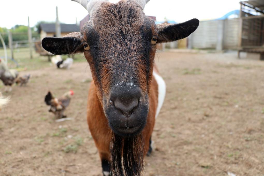 Chèvre - animaux - Camping de Kersily - Plouharnel - Morbihan Bretagne Sud